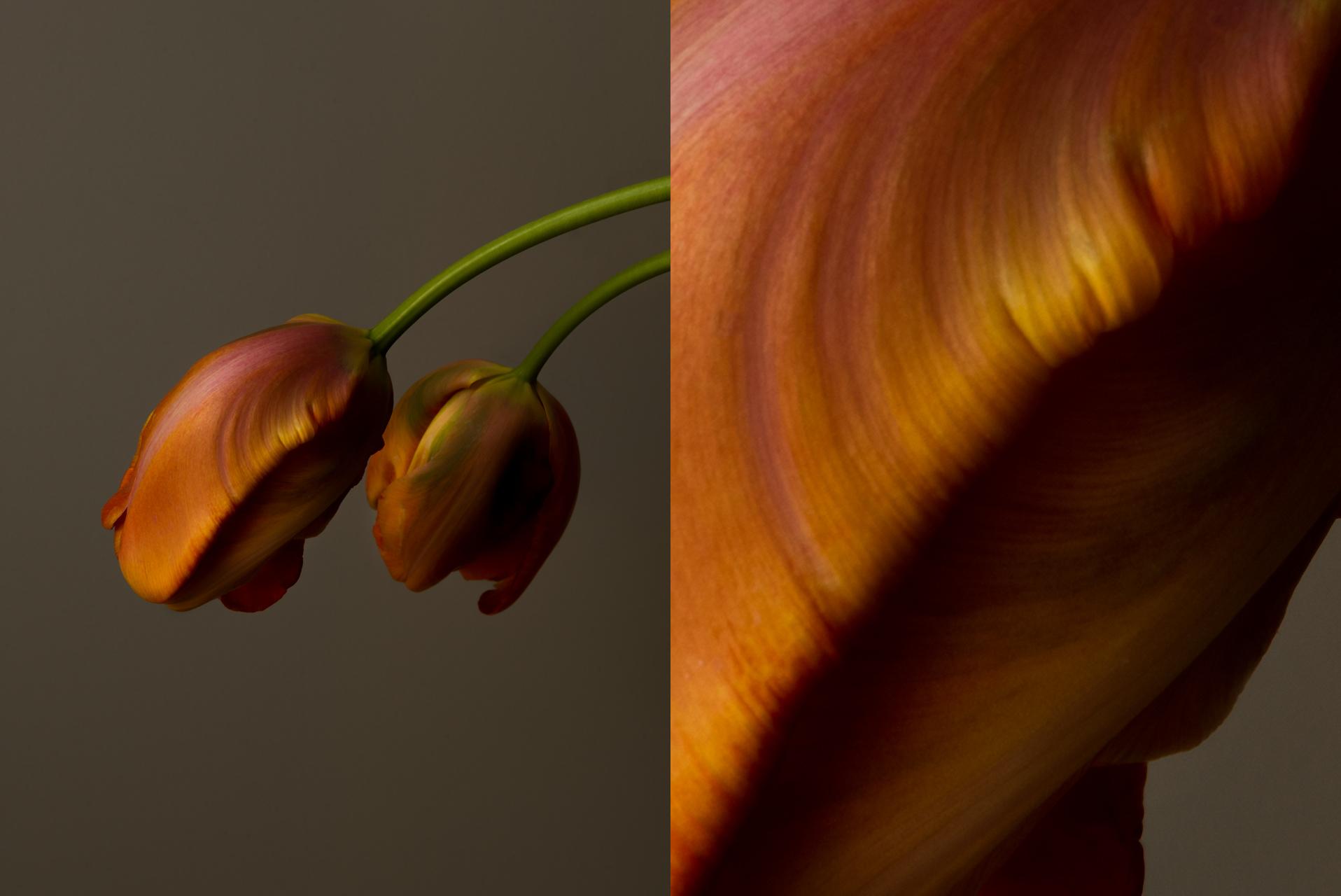 french_tulip_x2